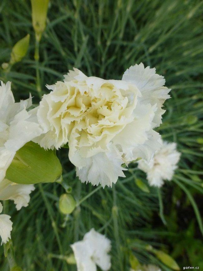 Karafiát zahradní Floristan White - květ (Dianthus caryophyllus)