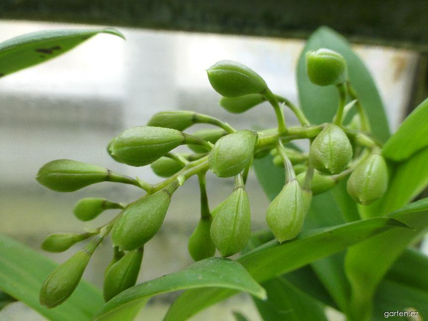 Epidendrum - poupě (Epidendrum floribundum)