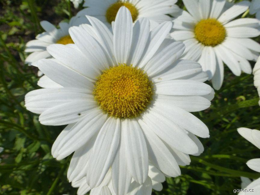 Kopretina Becky - květ (Leucanthemum superbum)