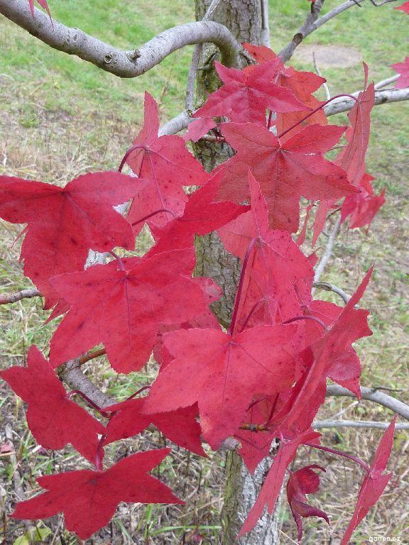 Ambroň západní Aurora - podzimní list (Liquidambar styraciflua)