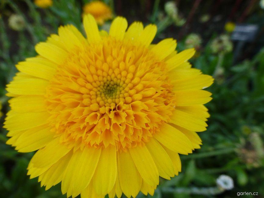 Měsíček lékařský Golden Prince - květ (Calendula officinalis)