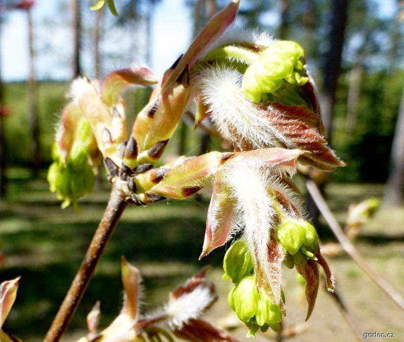 Javor šedý - větévka s květy a rašícími listy (Acer griseum)