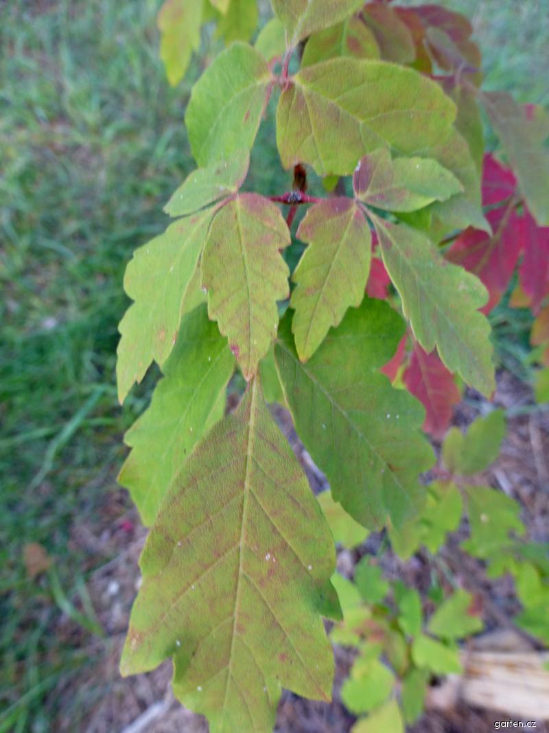 Javor šedý (Acer griseum)