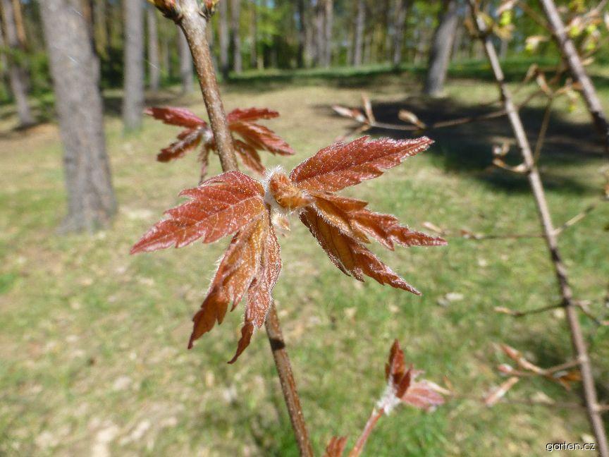 Javor šedý - větévka s mladými listy (Acer griseum)