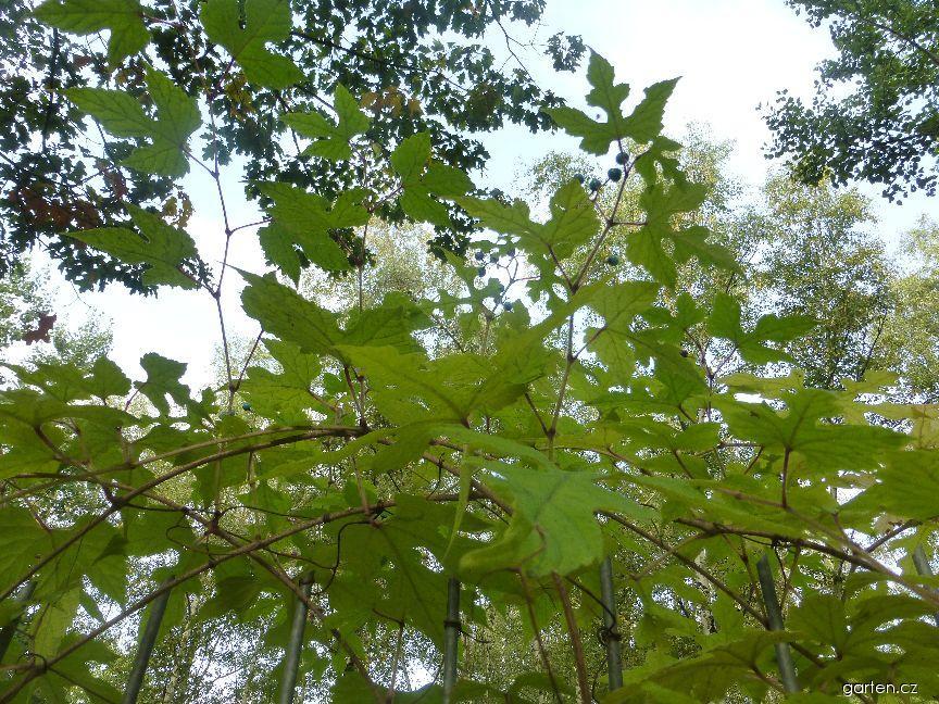 Révovník žláznatý (Ampelopsis glandulosa var heterophylla)