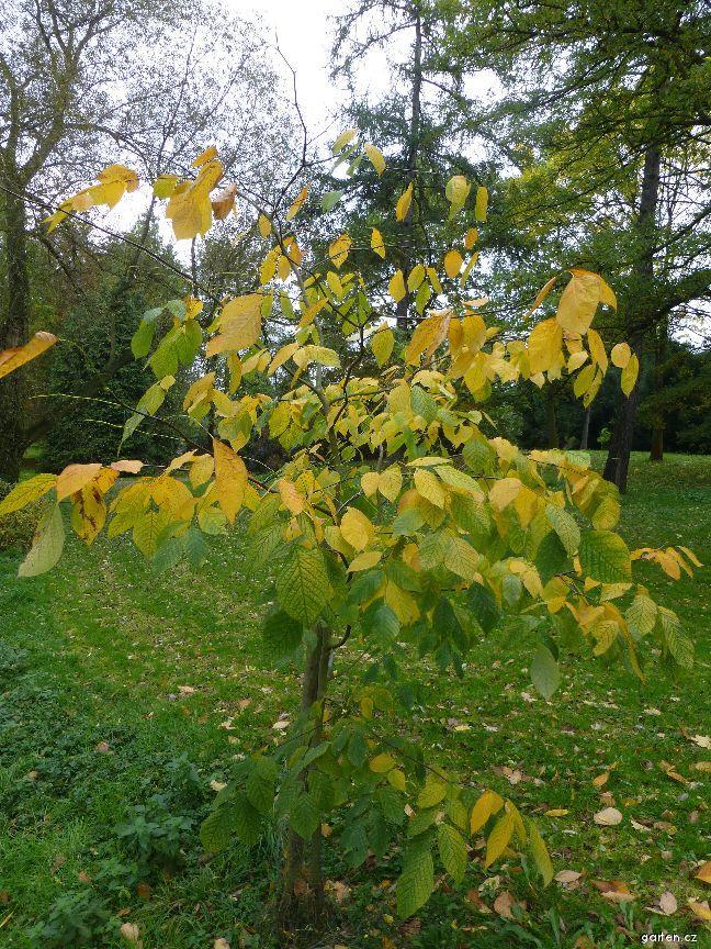 Křehovětvec žlutý (Cladrastis lutea)