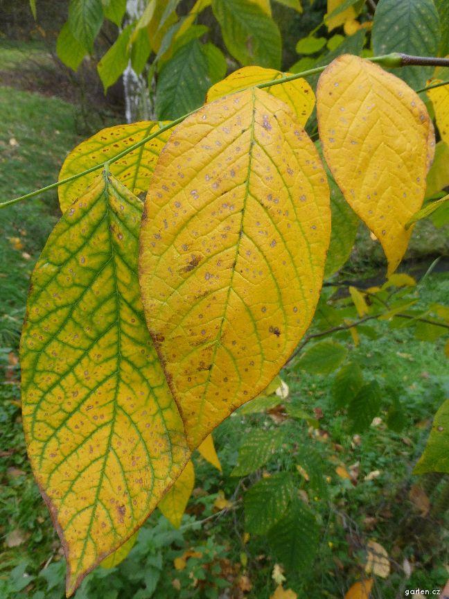 Křehovětvec žlutý - podzimní list (Cladrastis lutea)