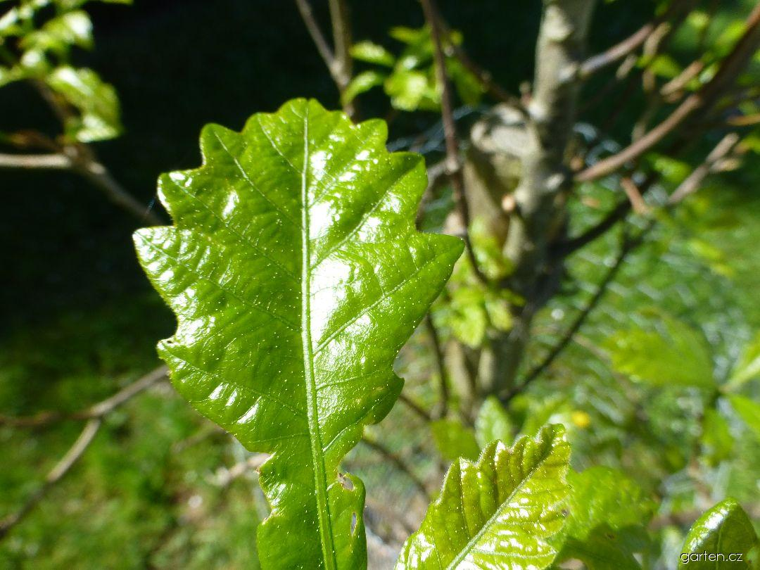 Dub Long - mladý list (Quercus x warei)
