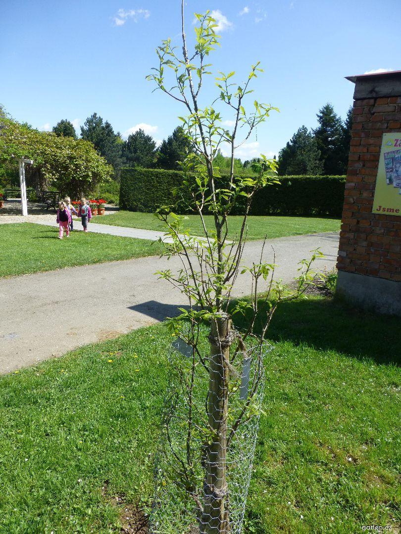 Dub Long - habitus na jaře (Quercus x warei)