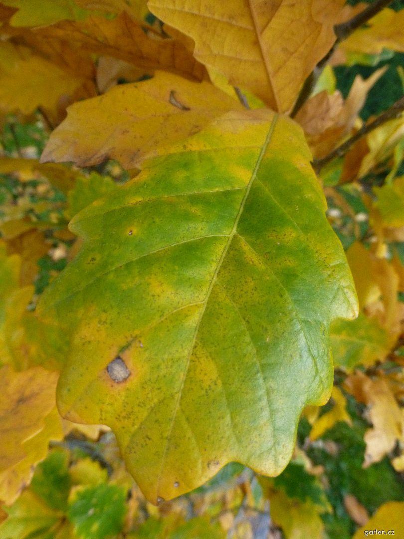 Dub Long - podzimní list (Quercus x warei)
