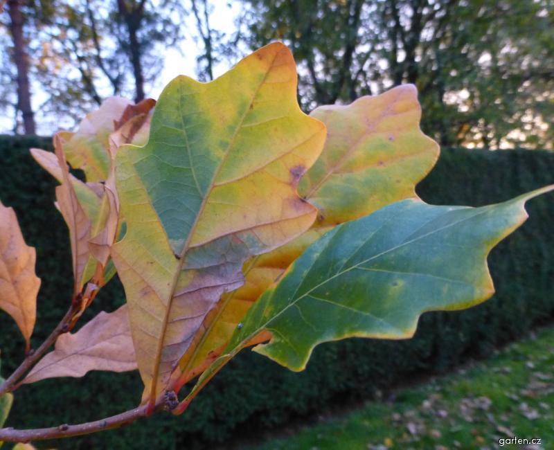 Dub Long - podzimní zbarvení (Quercus x warei)
