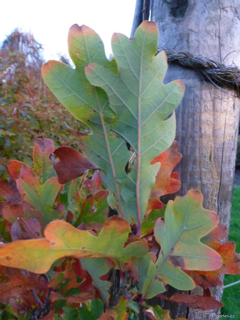Dub Crimschmidt - podzimní zbarvení (Quercus bimundorum)