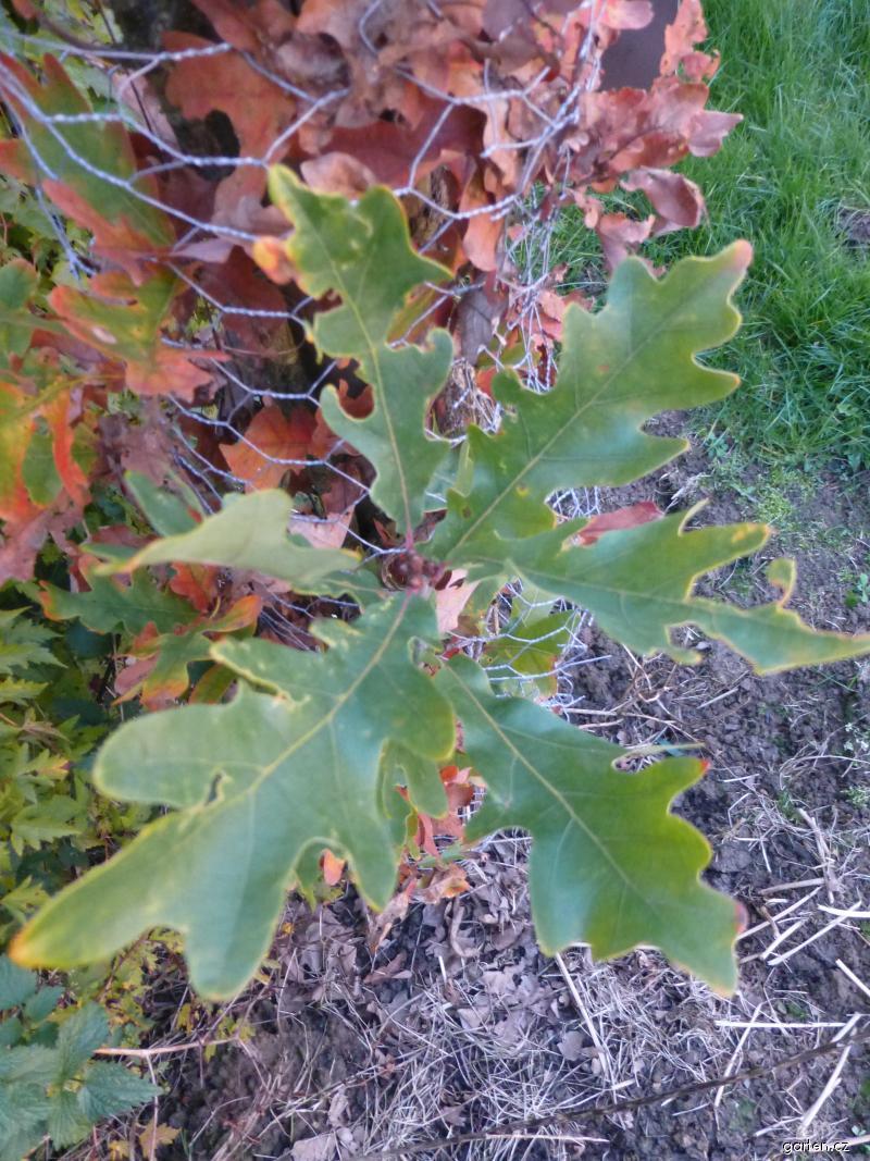 Dub Crimschmidt (Quercus bimundorum)