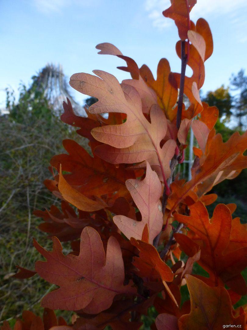 Dub Crimschmidt - podzimní listy (Quercus bimundorum)