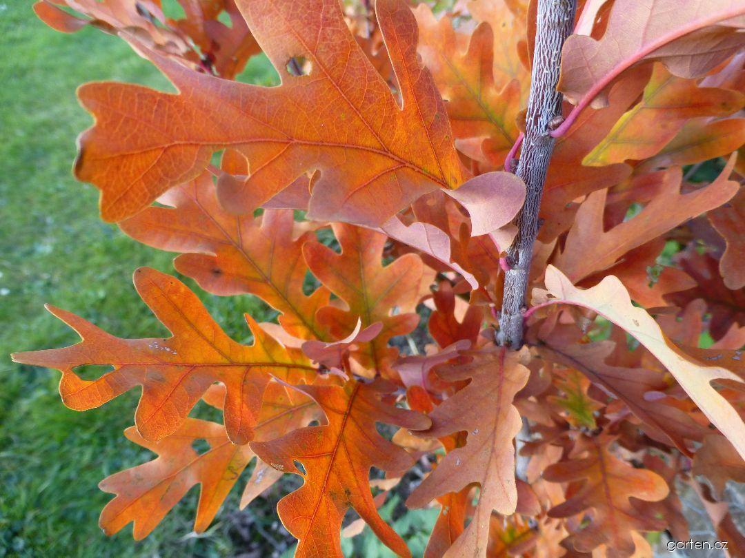 Dub Crimschmidt - větévka s podzimními listy (Quercus bimundorum)