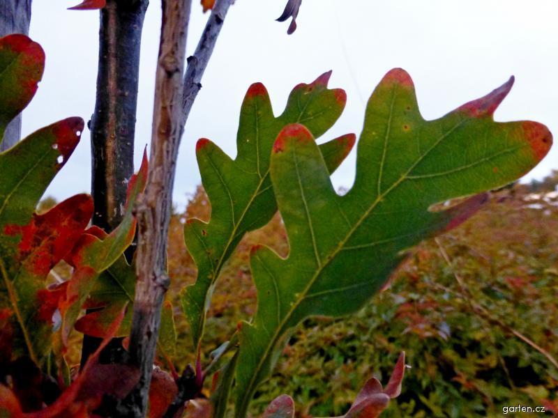 Dub Crimschmidt - podzimní list (Quercus bimundorum)