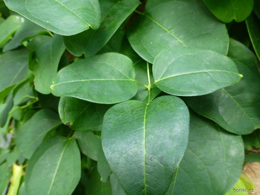 Akébie trojlistá - list (Akebia trifoliata)
