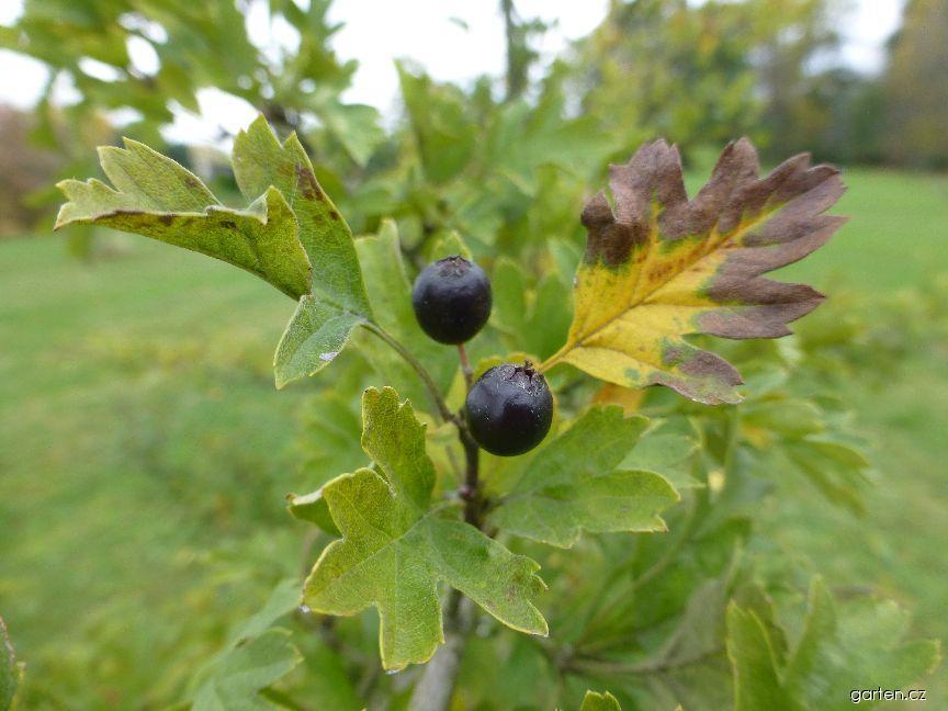 Hloh východní - větévka s plody (Crataegus orientalis)