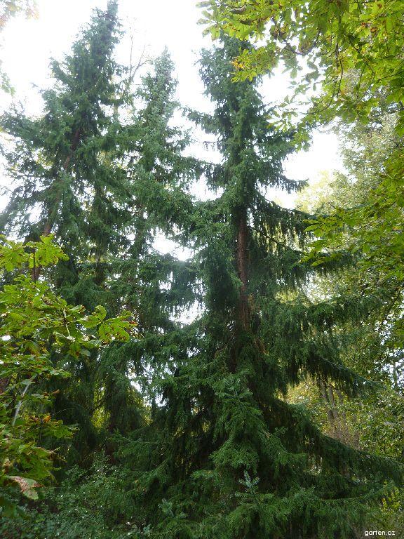Smrk omorika (Picea omorika)