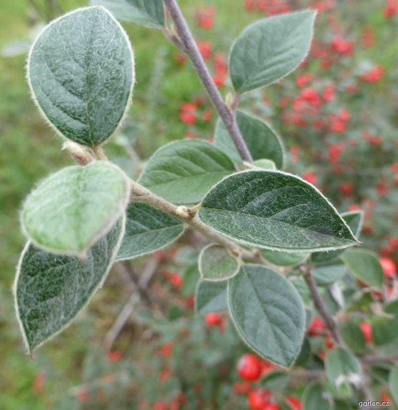 Skalník - listy (Cotoneaster applanatus)