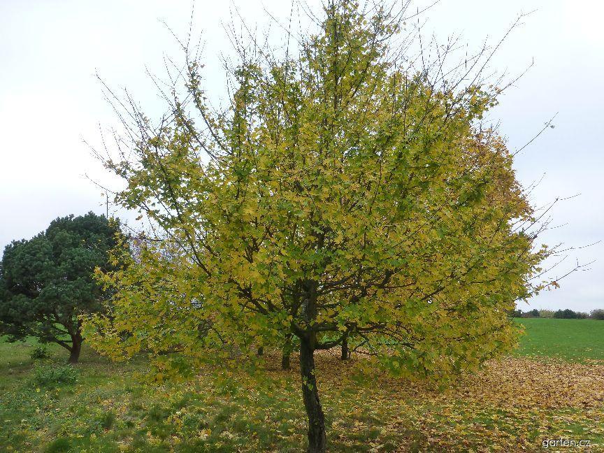 Javor babyka Postelense - habitus na podzim (Acer campestre)