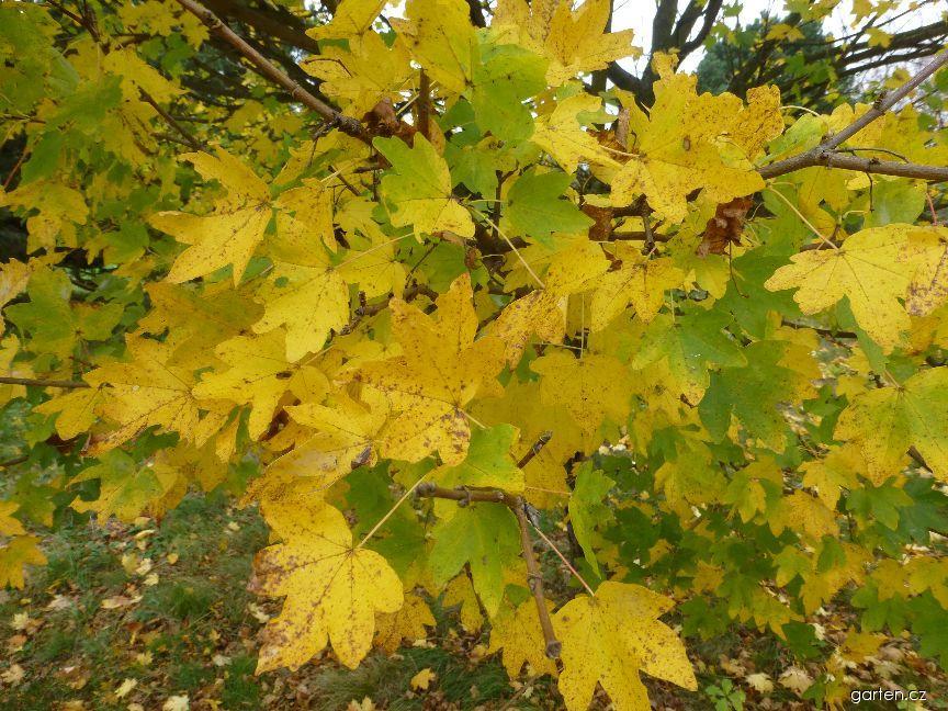 Javor babyka Postelense - podzimní zbarvení (Acer campestre)