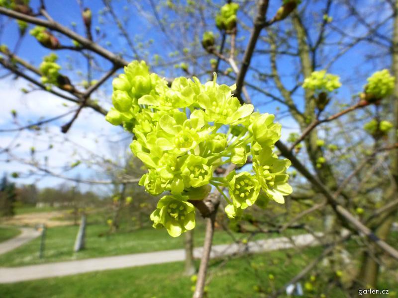Javor mléč - větévka s květy (Acer platanoides Maculatum)