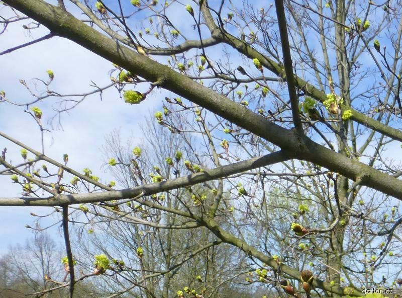 Javor mléč - v květu (Acer platanoides Maculatum)