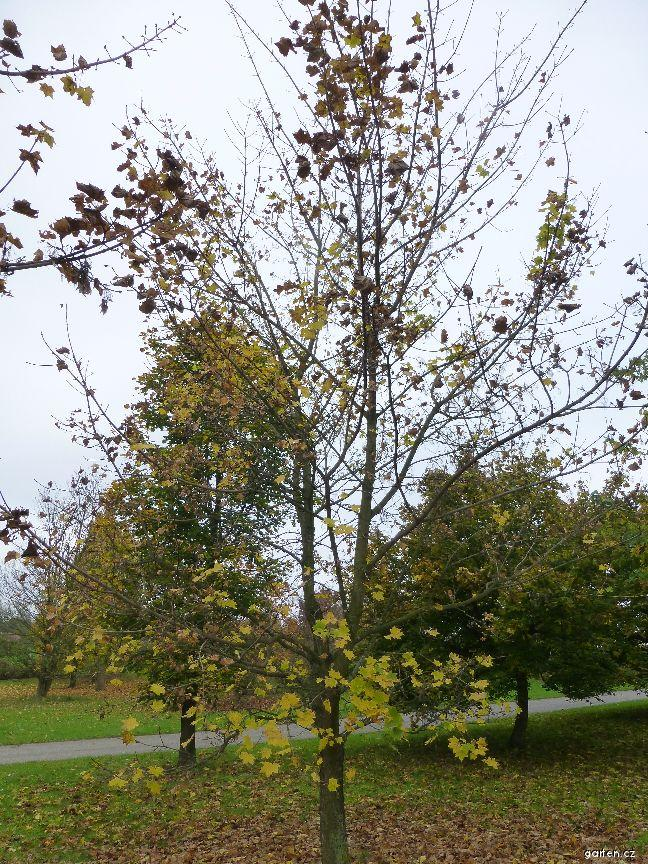 Javor mléč - habitus na podzim (Acer platanoides Maculatum)