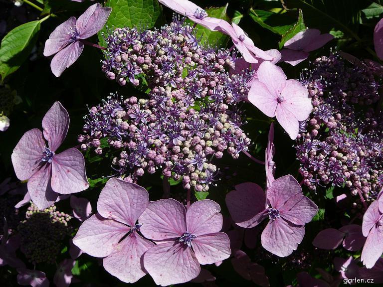 hortenzie květ