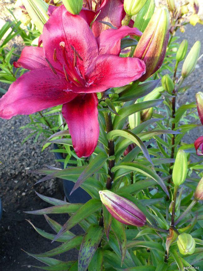Lilie Cocopa (Lilium hybridum)
