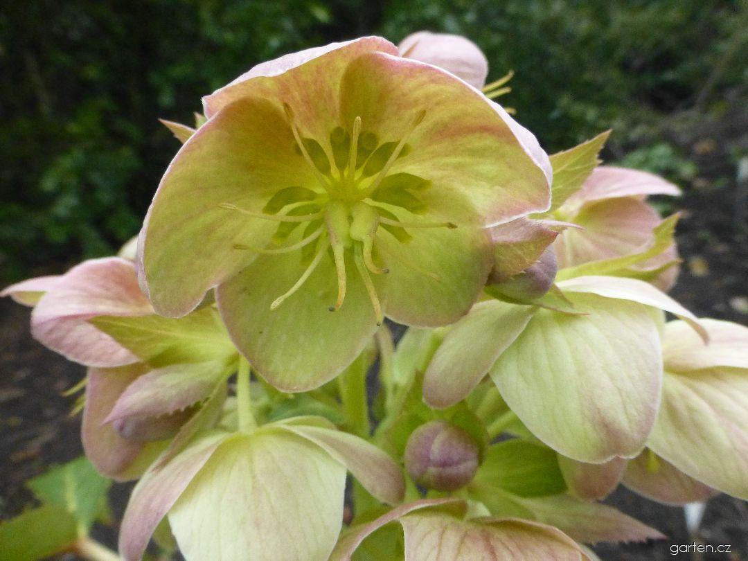 Čemeřice - květ (Helleborus x sternii Boughton Beauty)