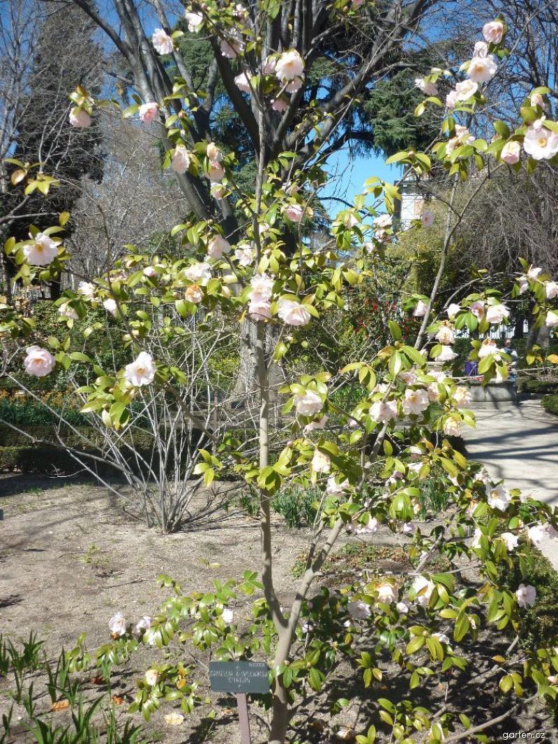 Fotogalerie df camellia kam lie 1 for Garten forum