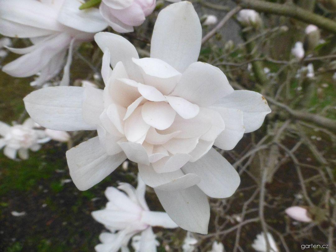 Šácholan hvězdnatý - květ (Magnolia stellata Harvard Centennial)