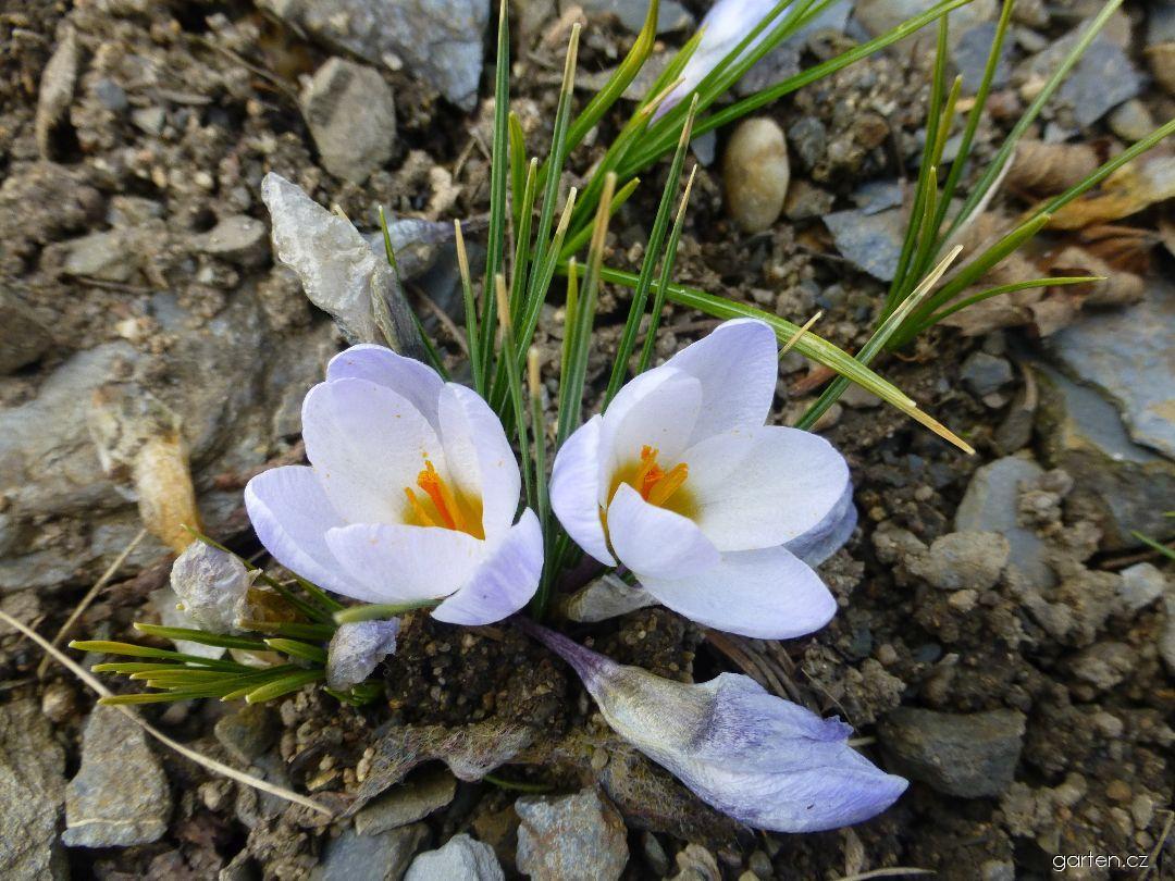 Šafrán zlatý Blue Pearl (Crocus chrysanthus)