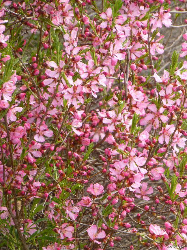 Mandloň nízká (Prunus tenella)