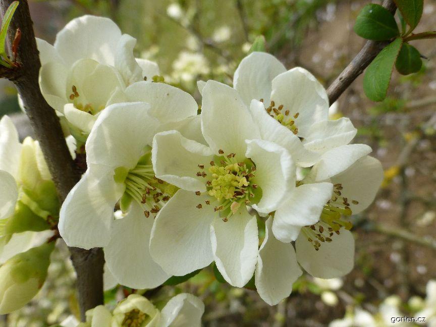 Kdoulovec lahvicovitý Nivalis - větévka s květy (Chaenomeles speciosa)