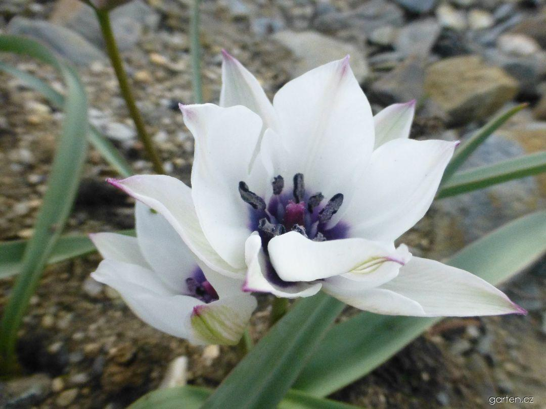Tulipán (Tulipa pulchella var albocaerulea-oculata)