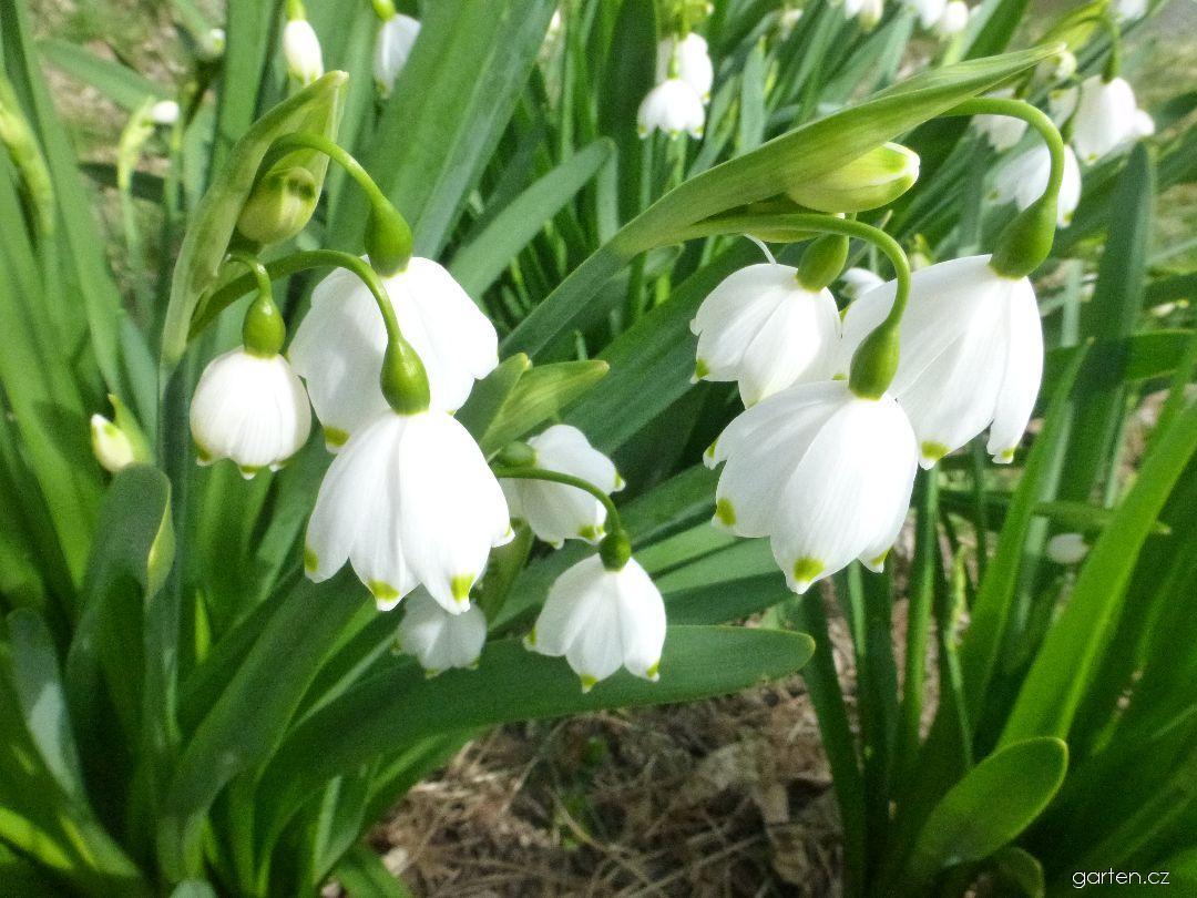 Bledule letní (Leucojum aestivum)