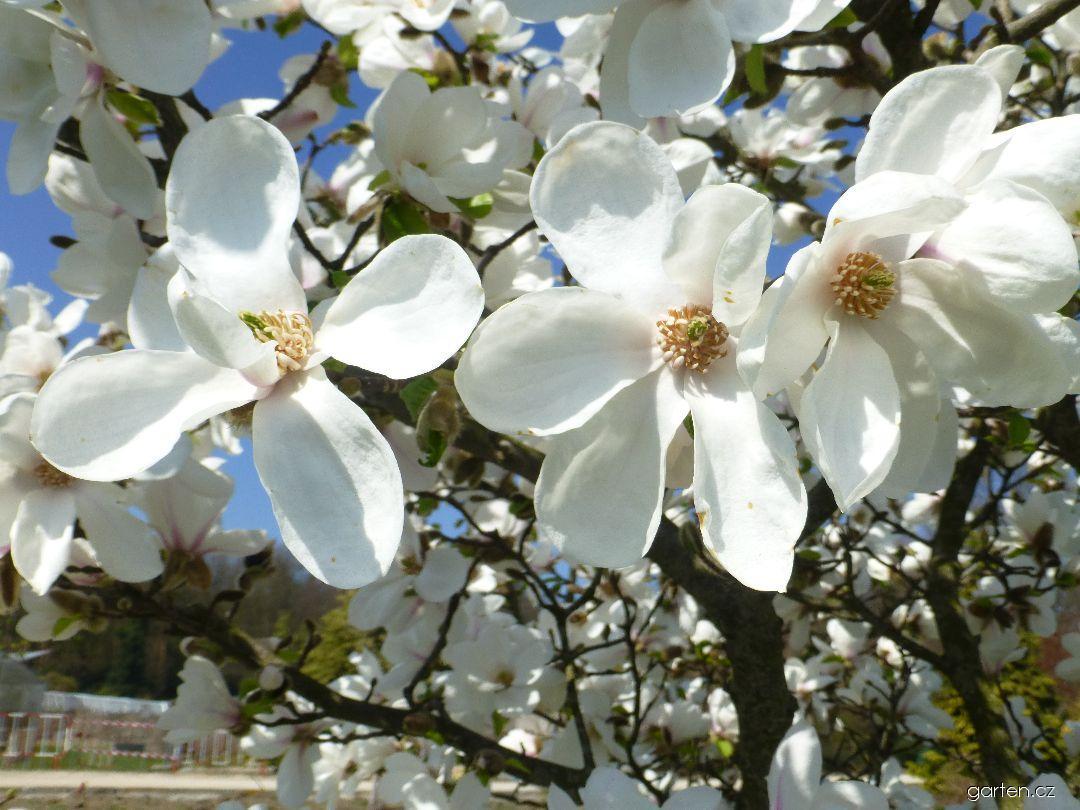 Šácholan japonský Norman Gould - větévky s květy (Magnolia kobus)