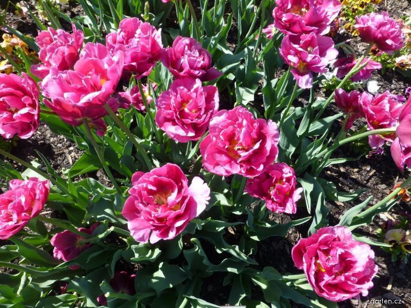 tulipa margarita. Black Bedroom Furniture Sets. Home Design Ideas