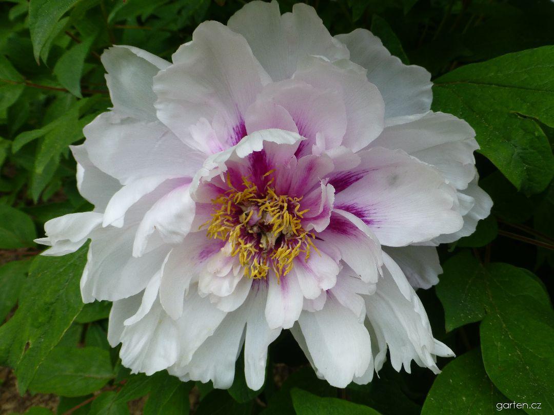 Pivoňka dřevitá Blanche de His - květ (Paeonia suffruticosa)