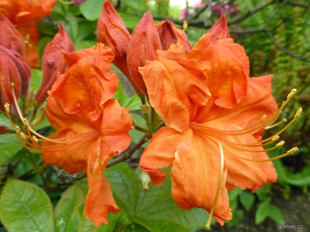 Azalka dřevitá Gibraltar - květ (Rhododendron)