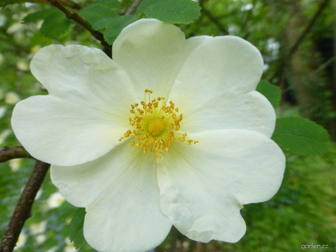 Růže křídlatá - květ (Rosa pteragonis)
