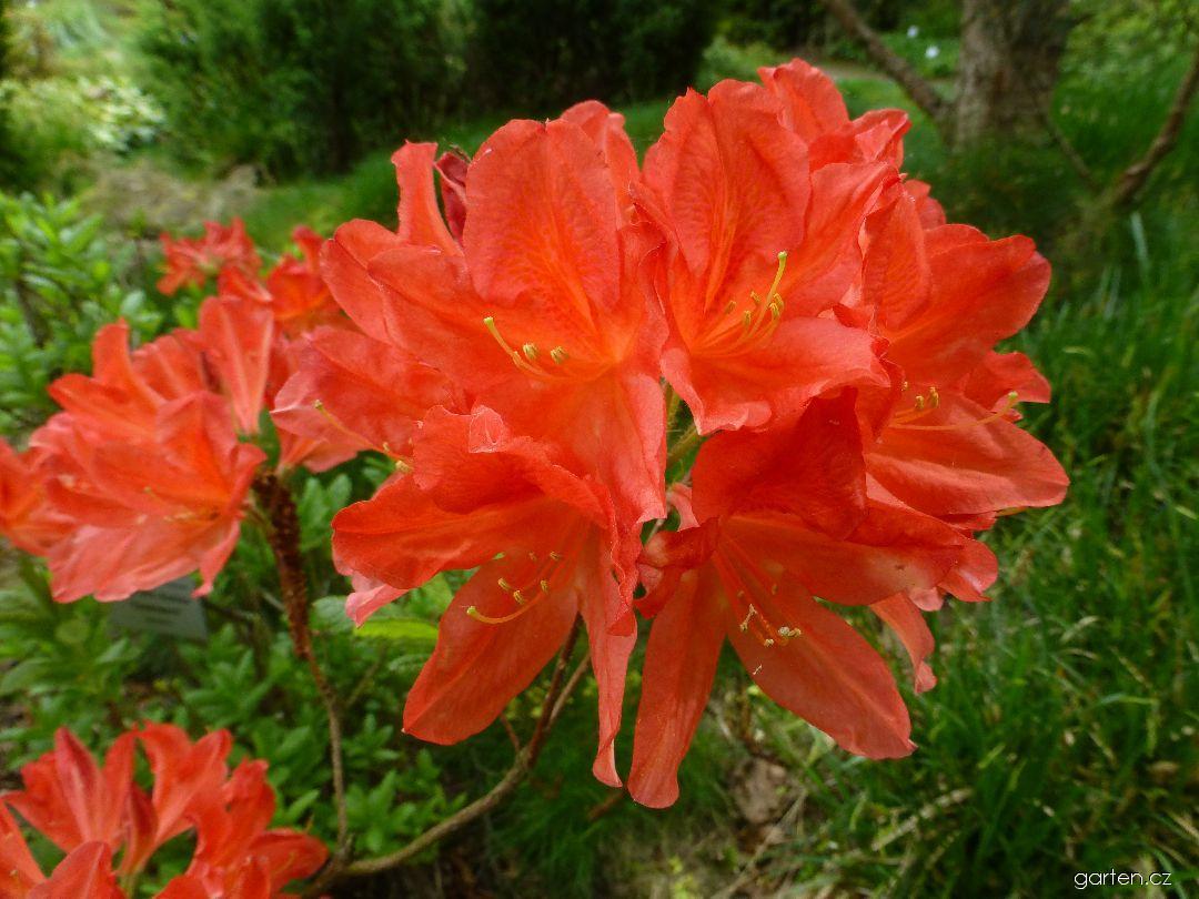 Azalka dřevitá Feuerwerk - květ (Rhododendron)