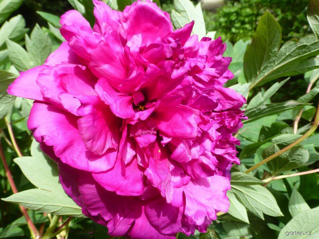 Pivoňka dřevitá Choraku - květ (Paeonia suffruticosa)