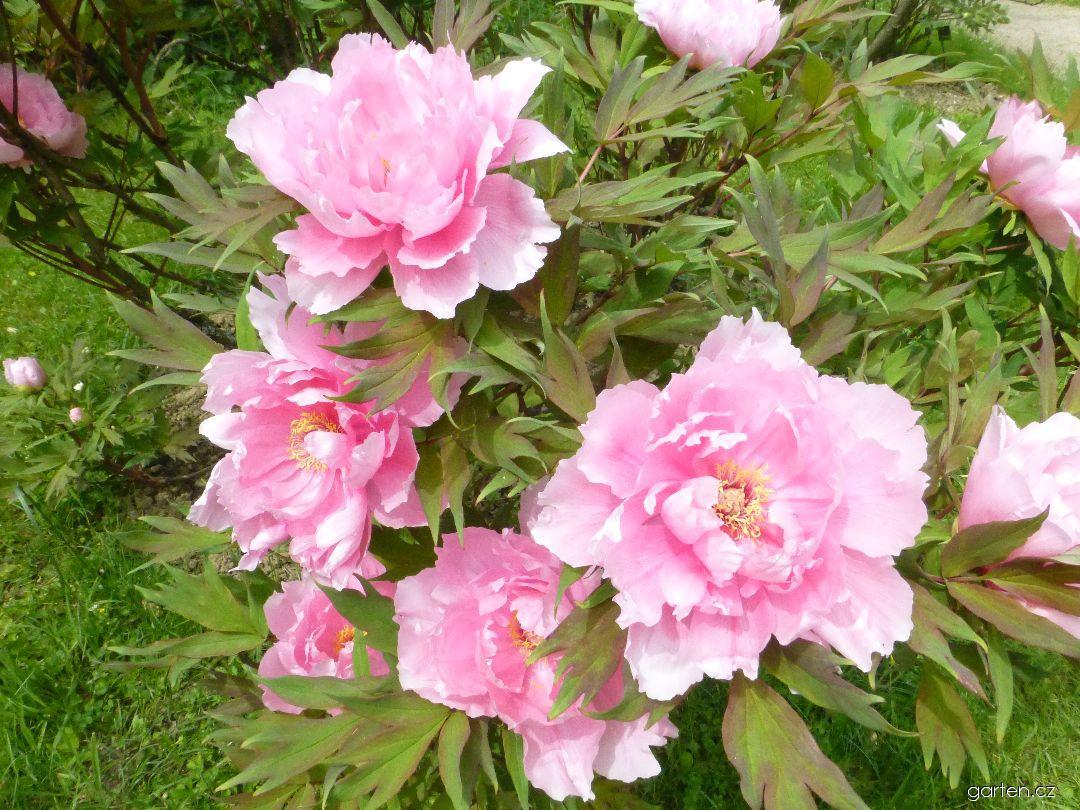 Pivoňka dřevitá Yachiyojishi - větévky s květy (Paeonia suffruticosa)