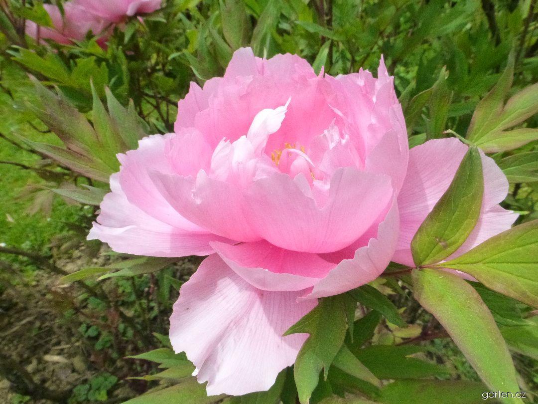 Pivoňka dřevitá Yachiyojishi - květ (Paeonia suffruticosa)