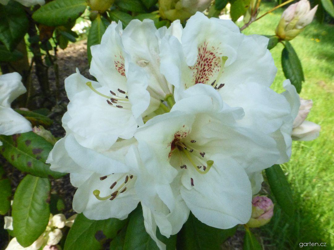 Azalka dřevitá Harvest Moon - květ (Rhododendron)
