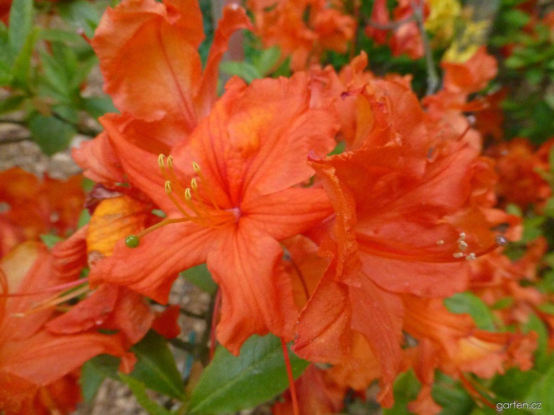 Azalka dřevitá Bakkarat - květ (Rhododendron)